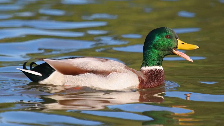 mallard-quack